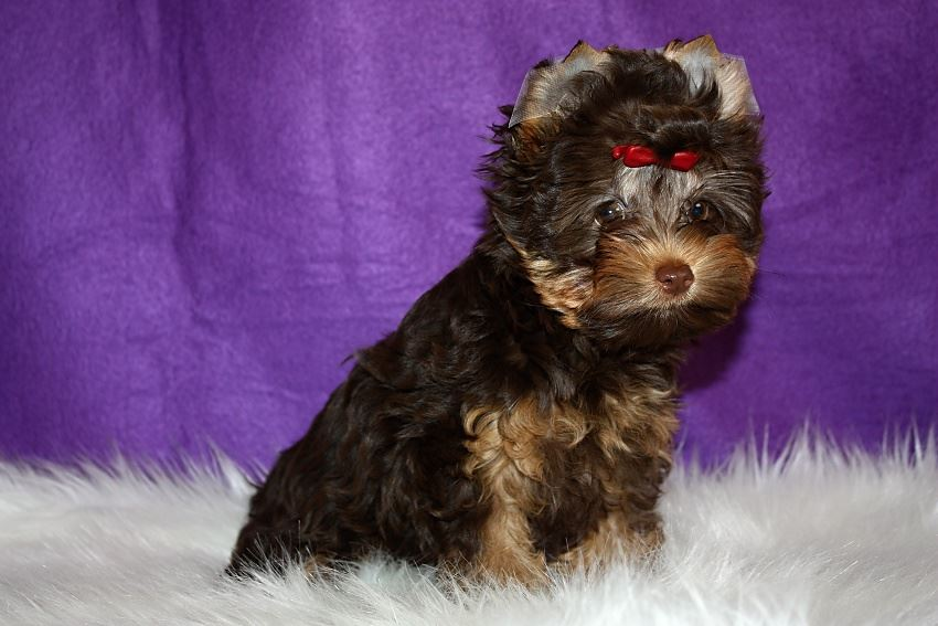 chocolate and tan yorkies - buckmar yorkshire terriers