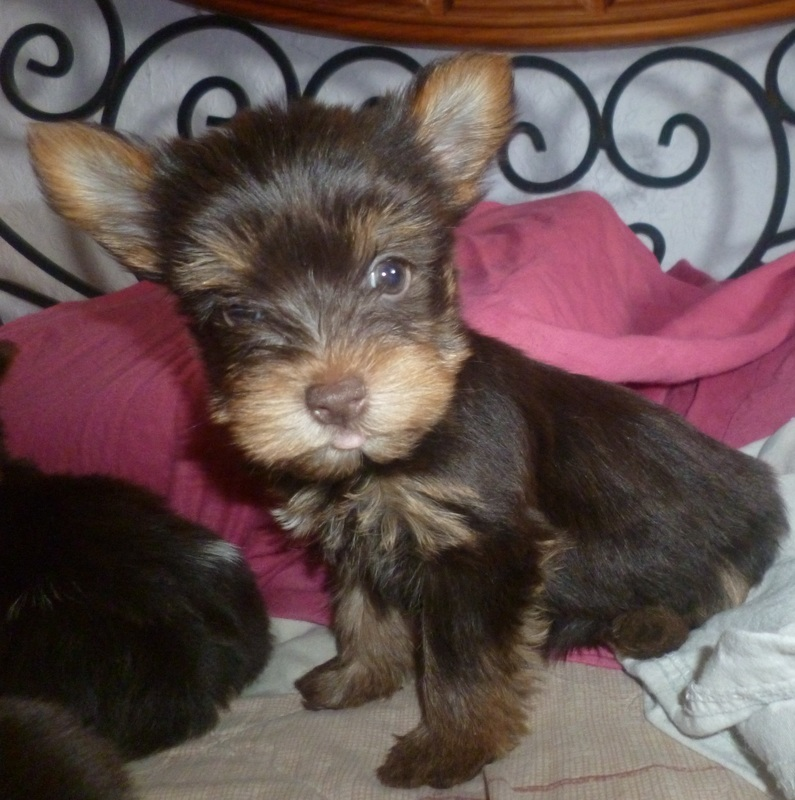 parti yorkies for sale uk - buckmar yorkshire terriers
