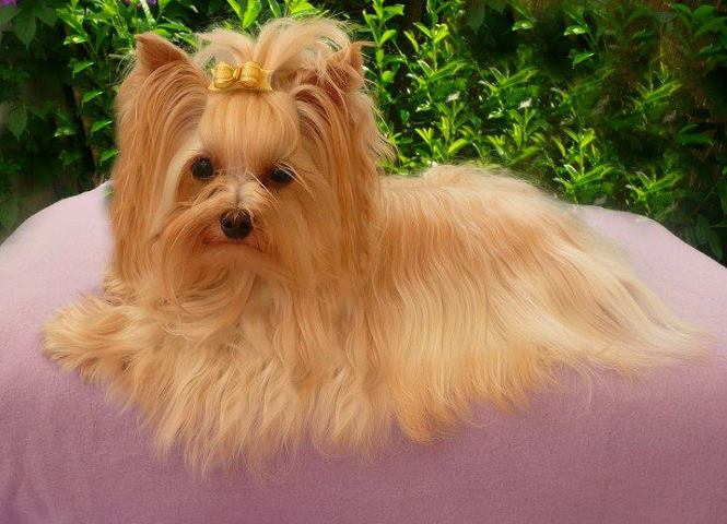 yorkshire terrier colors blue gold biro yorkie history buckmar yorkshire terriers 6478
